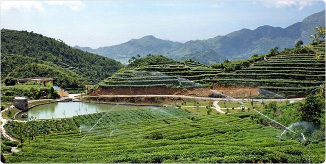taimu_organic_tea_garden